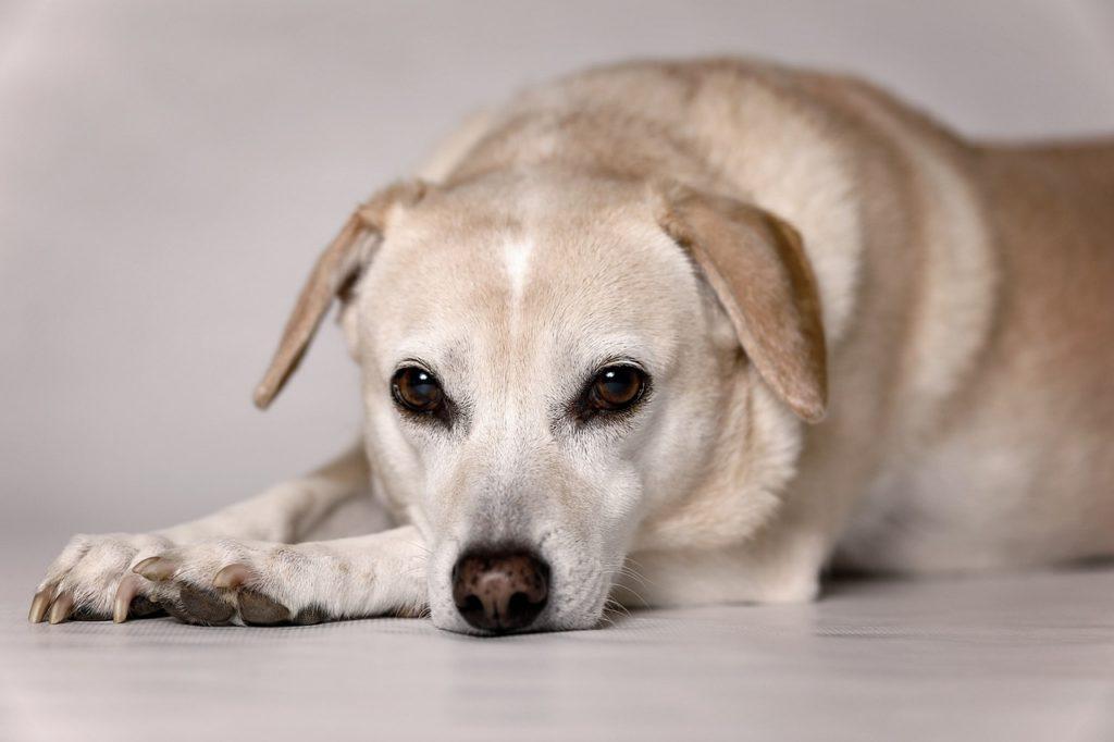 лечение собак от простатита