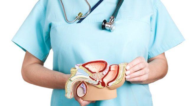 Макет мужской мочеполовой системы