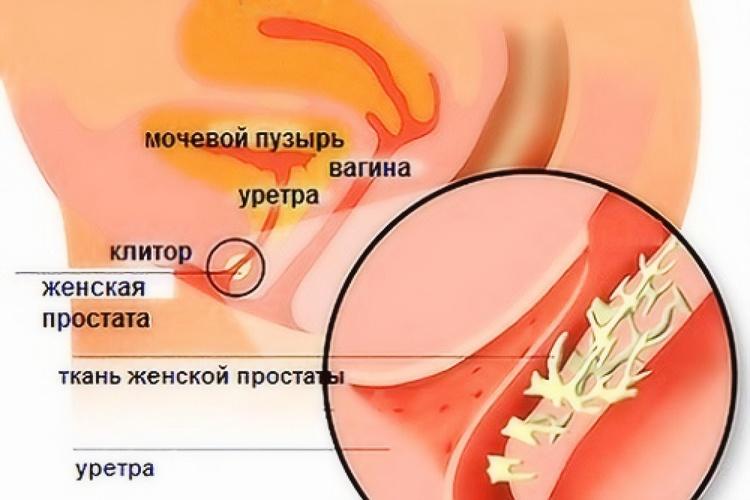Где находится женская простата